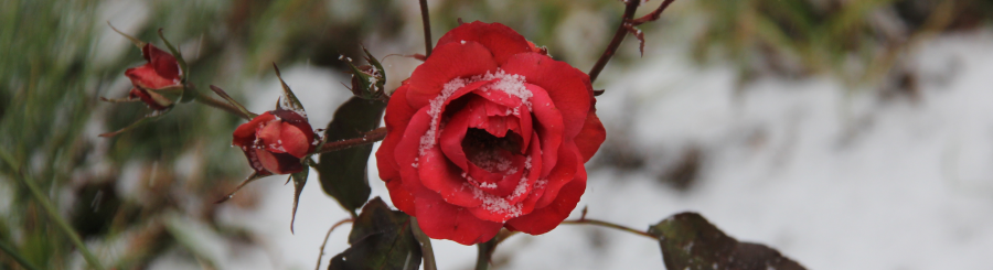 Rose red first snow.900.245