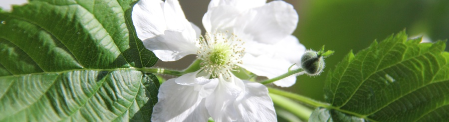 White blackberry flower 900 245