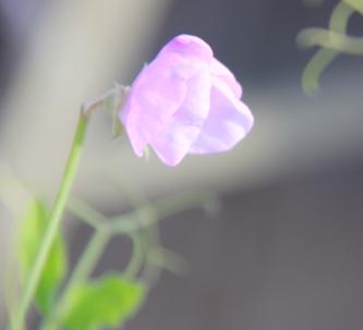 sweet-pea-hajuherne-lilac