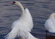 1 swan wings.couple.230.165