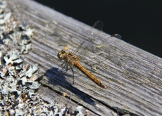 Dragonfly brown pier 230 165