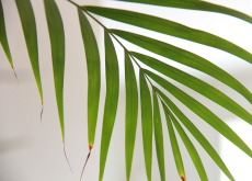 Palm frond 230 165