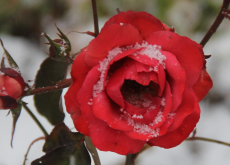 Rose red first snow.230.165