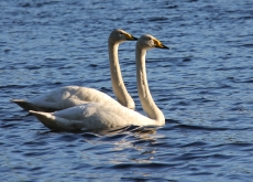 Singing swan couple.230.165