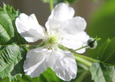 White blackberry flower 230 165