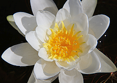 White water lily 230 165